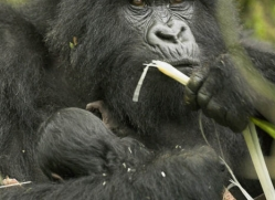 mountain-gorilla-rwanda-3094-copyright-photographers-on-safari-com