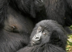 mountain-gorilla-rwanda-3096-copyright-photographers-on-safari-com