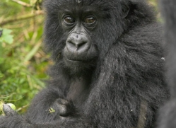 mountain-gorilla-rwanda-3097-copyright-photographers-on-safari-com