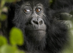 mountain-gorilla-rwanda-3098-copyright-photographers-on-safari-com
