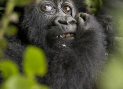 mountain-gorilla-rwanda-3099-copyright-photographers-on-safari-com