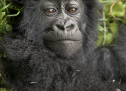 mountain-gorilla-rwanda-3100-copyright-photographers-on-safari-com