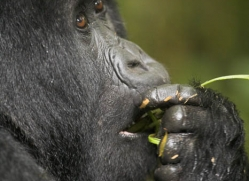 mountain-gorilla-rwanda-3101-copyright-photographers-on-safari-com