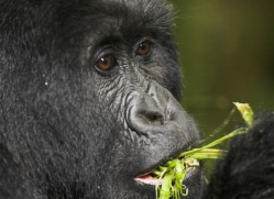 mountain-gorilla-rwanda-3102-copyright-photographers-on-safari-com