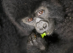 mountain-gorilla-rwanda-3103-copyright-photographers-on-safari-com