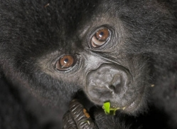 mountain-gorilla-rwanda-3104-copyright-photographers-on-safari-com