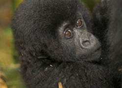 mountain-gorilla-rwanda-3105-copyright-photographers-on-safari-com