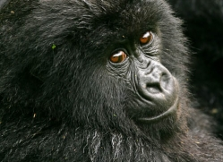 mountain-gorilla-rwanda-3107-copyright-photographers-on-safari-com
