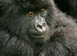 mountain-gorilla-rwanda-3108-copyright-photographers-on-safari-com