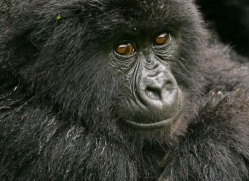 mountain-gorilla-rwanda-3109-copyright-photographers-on-safari-com