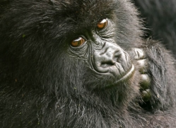 mountain-gorilla-rwanda-3110-copyright-photographers-on-safari-com