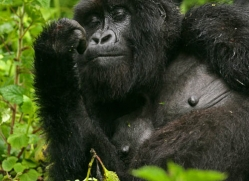 mountain-gorilla-rwanda-3111-copyright-photographers-on-safari-com