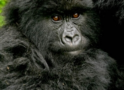 mountain-gorilla-rwanda-3113-copyright-photographers-on-safari-com