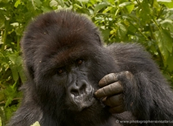mountain-gorilla-rwanda-3114-copyright-photographers-on-safari-com