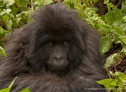 mountain-gorilla-rwanda-3115-copyright-photographers-on-safari-com