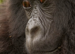 mountain-gorilla-rwanda-3116-copyright-photographers-on-safari-com