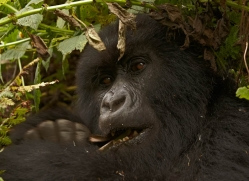 mountain-gorilla-rwanda-3118-copyright-photographers-on-safari-com
