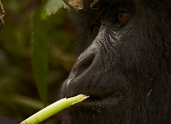 mountain-gorilla-rwanda-3119-copyright-photographers-on-safari-com