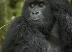 mountain-gorilla-rwanda-3090-copyright-photographers-on-safari-com