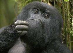 mountain-gorilla-rwanda-3091-copyright-photographers-on-safari-com