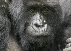 mountain-gorilla-rwanda-3095-copyright-photographers-on-safari-com