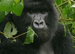 mountain-gorilla-rwanda-3106-copyright-photographers-on-safari-com