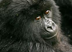 mountain-gorilla-rwanda-3107-copyright-photographers-on-safari-com
