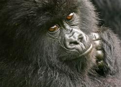 mountain-gorilla-rwanda-3110-copyright-photographers-on-safari-com