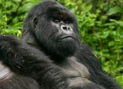 mountain-gorilla-rwanda-3112-copyright-photographers-on-safari-com