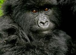mountain-gorilla-rwanda-3113-copyright-photographers-on-safari-com