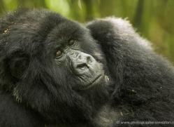mountain-gorilla-rwanda-3093-copyright-photographers-on-safari-com