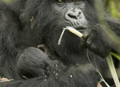 mountain-gorilla-rwanda-3094-copyright-photographers-on-safari-com