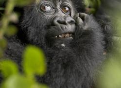 mountain-gorilla-rwanda-3099-copyright-photographers-on-safari-com