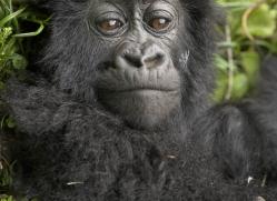 mountain-gorilla-rwanda-3100-copyright-photographers-on-safari-com