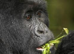 mountain-gorilla-rwanda-3102-copyright-photographers-on-safari-com