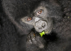 mountain-gorilla-rwanda-3103-copyright-photographers-on-safari-com