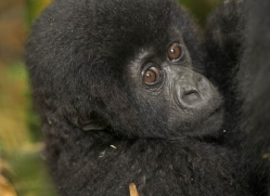 mountain-gorilla-rwanda-3105-copyright-photographers-on-safari-com