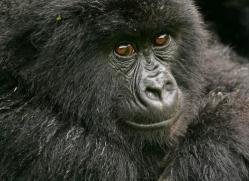 mountain-gorilla-rwanda-3109-copyright-photographers-on-safari-com