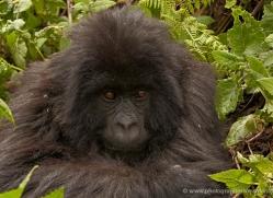 mountain-gorilla-rwanda-3115-copyright-photographers-on-safari-com