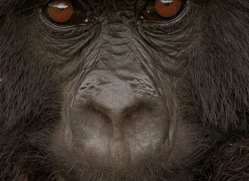 mountain-gorilla-rwanda-3117-copyright-photographers-on-safari-com