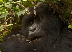 mountain-gorilla-rwanda-3118-copyright-photographers-on-safari-com
