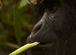 mountain-gorilla-rwanda-3119-copyright-photographers-on-safari-com