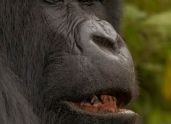mountain-gorilla-rwanda-3120-copyright-photographers-on-safari-com