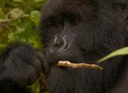 mountain-gorilla-rwanda-3121-copyright-photographers-on-safari-com