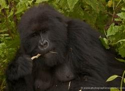 mountain-gorilla-rwanda-3122-copyright-photographers-on-safari-com