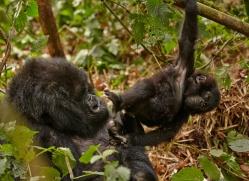 mountain-gorilla-rwanda-3127-copyright-photographers-on-safari-com