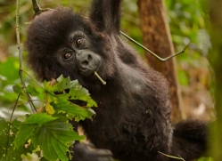 mountain-gorilla-rwanda-3129-copyright-photographers-on-safari-com