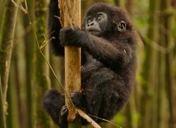 mountain-gorilla-rwanda-3131-copyright-photographers-on-safari-com