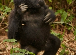 mountain-gorilla-rwanda-3136-copyright-photographers-on-safari-com