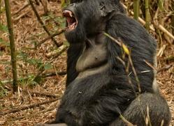 mountain-gorilla-rwanda-3137-copyright-photographers-on-safari-com